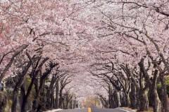 川根 桜トンネル
